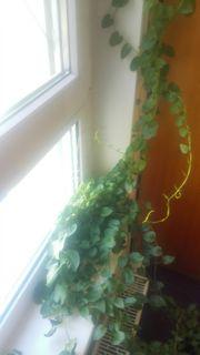 Essbare zimmerpflanze Peru Portulak rhizome