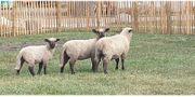Shropshire Schafe Lämmer reinrassig
