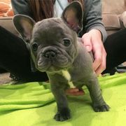 Bulldogge Tiermarkt Tiere Kaufen Quoka De