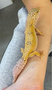 0 1 Leopardgecko NZ19