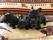 Französische Bulldog Welpen mit Papieren