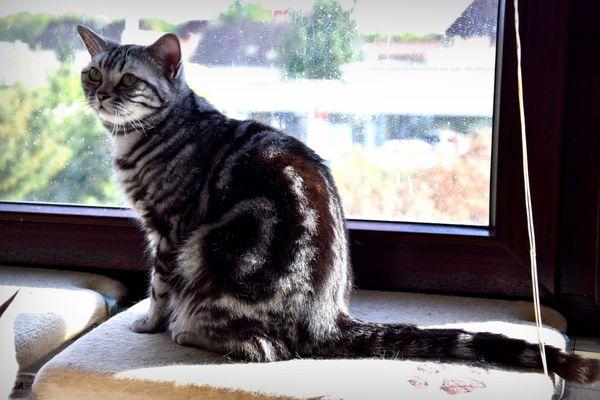 BKH Katze 2 Jahre alt