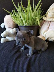 Französich Bulldogge Welpen Sonderfarbe Blau