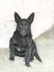 Schücherne Gana kroatischer Schäferhund Mischlingswelpe