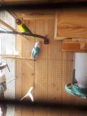 agaporniden papagei nur 25 euro