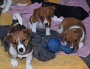 Jack-Russell-Terrierwelpen reinrassig geimpft gechipt