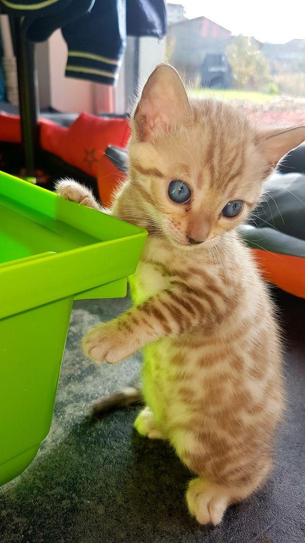 Bengal Kitten Snow Lynx Black