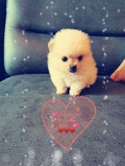 Pomeranian Boo Mini