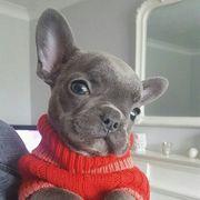 Süße französische Bulldoggen-Welpen - französische Bulldogge