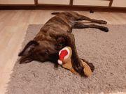 Bildschöne Labrador Boxer Mix Hündin