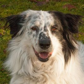 Hunde - Louisi 5 Jahre - Collie-Aussi-Mix - Tierhilfe