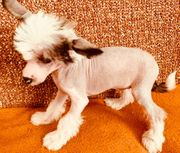 reinrassige Chinese Crested dog Rüde