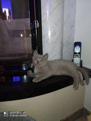 Kartäuser Kitten