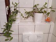 Hängende Zimmerpflanze pflegeleichte Pflanze BtBj