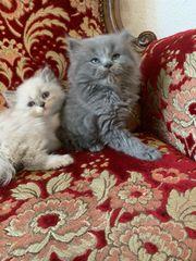 Perser kitten mit schöner Nase