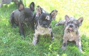 sehr schöne Französische Bulldogge Welpen