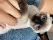 Reinrassige Siam Sealpoint Kitten