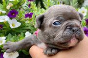 Französische Bulldoggen mit Ahnentafel und