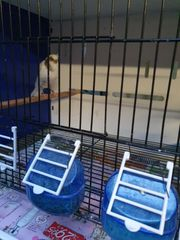 kanarienvögel yorkshire