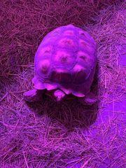 Sporn Schildkröten