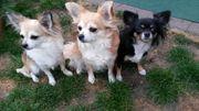 Suche Chihuahua Deckrüde LH