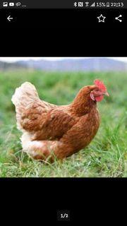 Rettung- Hühner aus Bodenhaltung suchen