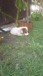 Jack Russel terrier mix welpen