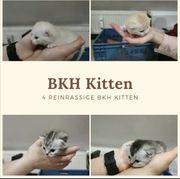 4 BKH Kitten reinrassig