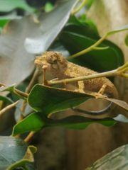 Dreihorn-Chamäleon Trioceros jacksonii jacksonii