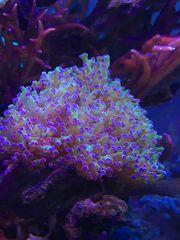 Koralle Paradivisa Meerwasser