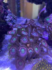 Meerwasser Zoanthus ab 1