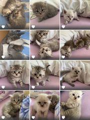 reinrassige Bkh Kitten Blue Silver
