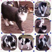 Wunderschöne kastrierte Katzen und Kater