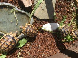 Griechische und Breitrand -Schildkröten zu: Kleinanzeigen aus Runkel - Rubrik Reptilien, Terraristik