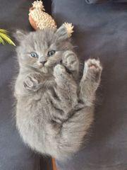Süße Britisch Langhaar Kätzchen