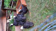 Süße Holländische Haubenhühner