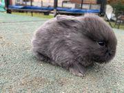 letzter zwergwidder Minilop Babys sehr
