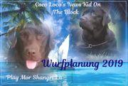 Wurfankündigung Labrador Welpen in braun -