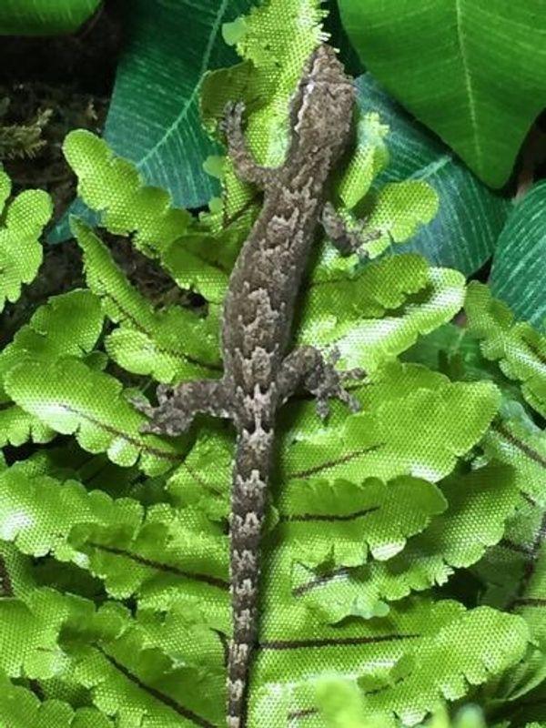 Adulter Jungferngecko (Lepidodactylus lugubris)