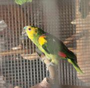 Gelbflügelblaustirnamazonen Pärchen