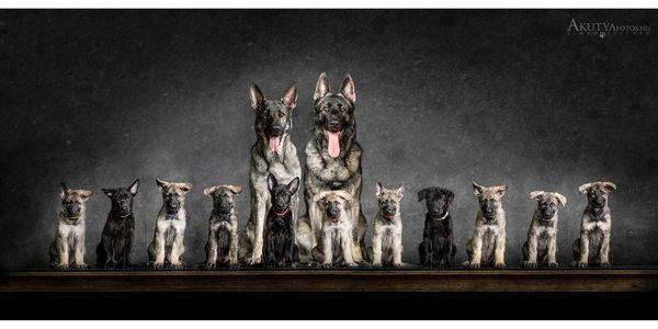 Osteuropäischer Schäferhund Welpen Wurfplanung- DNA