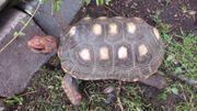 Köhlerschildkröte 24 cm 12 Jahre
