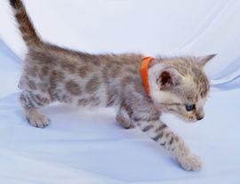 Bengal Kitten Katzen Babys