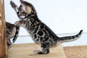 Prächtige menschenbezogene Bengal Kitten - aus
