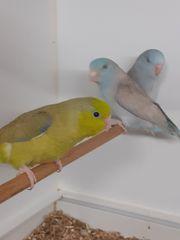 Blaugenick - Sperlingspapgeien