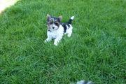 BiewerYorkshire-Terrier Welpen