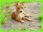 Zwergpinscher Chihuahua Mix Rüden