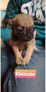 Chihuahua Mops Rüden abzugeben
