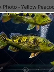 Suche Cichla Aquarium Fische