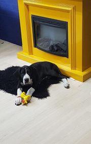 Deutsche Doggen Welpe Bandit mit